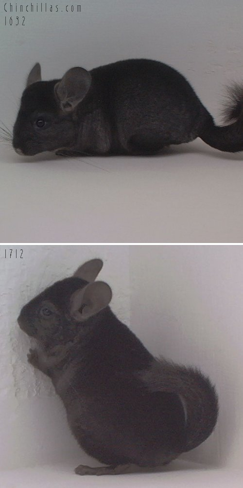 Lot 18 Dark Heterzygous Ebony Pair Chinchilla