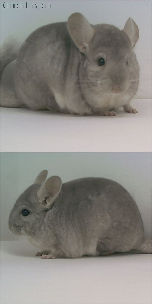 1683 Show Quality Beige Female Chinchilla