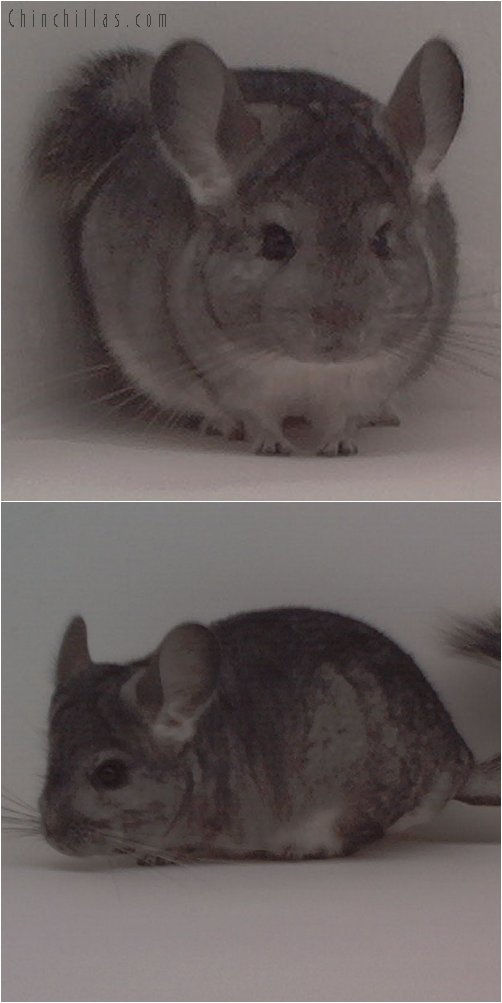 1706 Standard ( Violet Carrier ) Female Chinchilla
