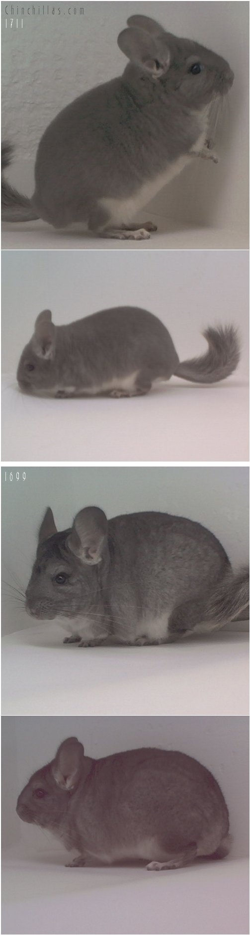 Lot 21 Violet Male & Violet Carrier Female Chinchilla