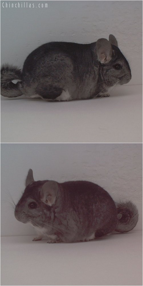 1678 Show Quality Pure Standard Male Chinchilla