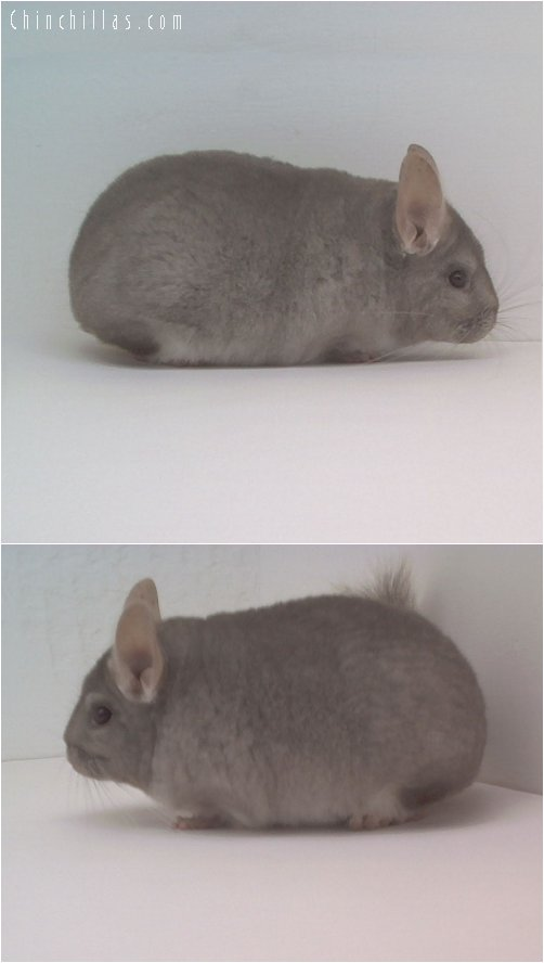 1722 Show Quality Beige Female Chinchilla