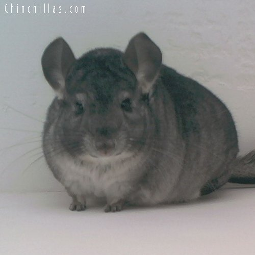 1697 Standard ( Ebony Carrier ) Female Chinchilla