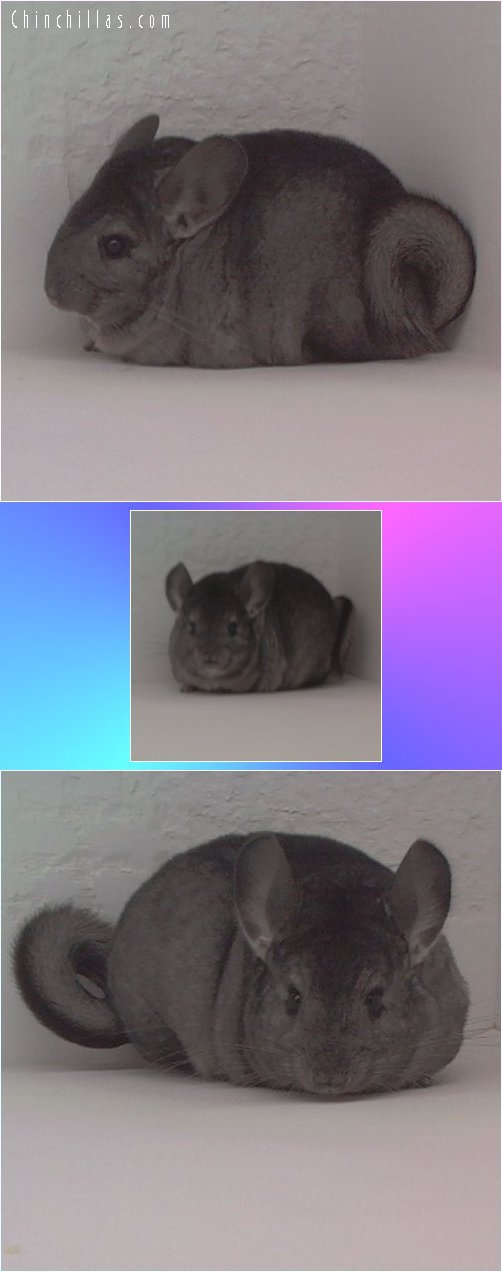 1702 Heterozygous Ebony Female Chinchilla