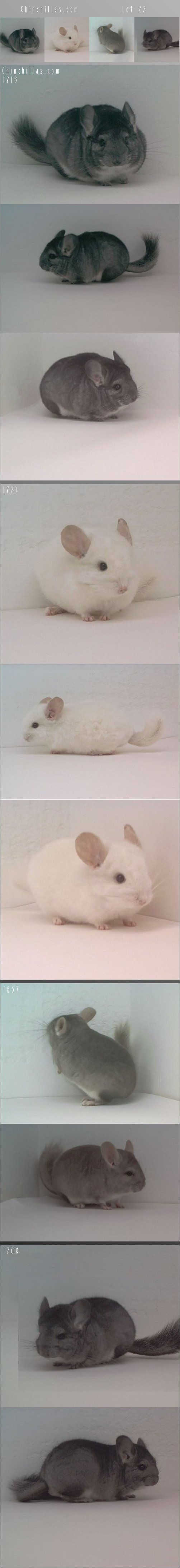 Lot 22 Miniature Breeder's Foundation Lot Chinchilla
