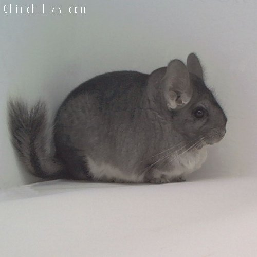 1714 Top Show Quality Standard Female Chinchilla