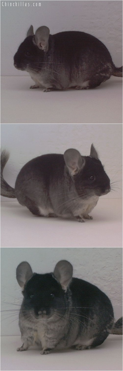 1687 Show Quality Black Velvet Female Chinchilla