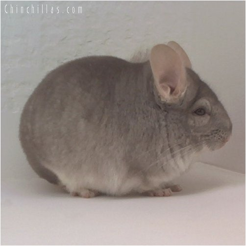 1735 Large Showable Beige Male Chinchilla
