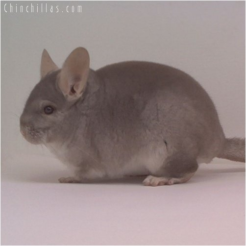 1733 ECBC 1st Place Beige Male Chinchilla