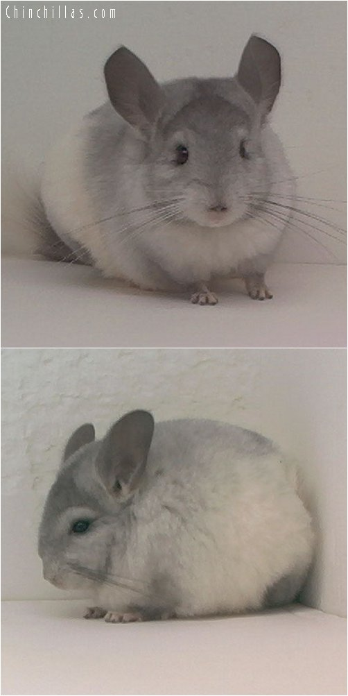 1729 Ebony and White Mosaic Female Chinchilla