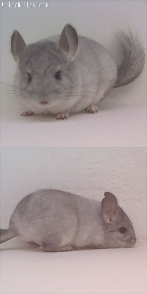 1745 Silver ( Sapphire Carrier ) Female Chinchilla