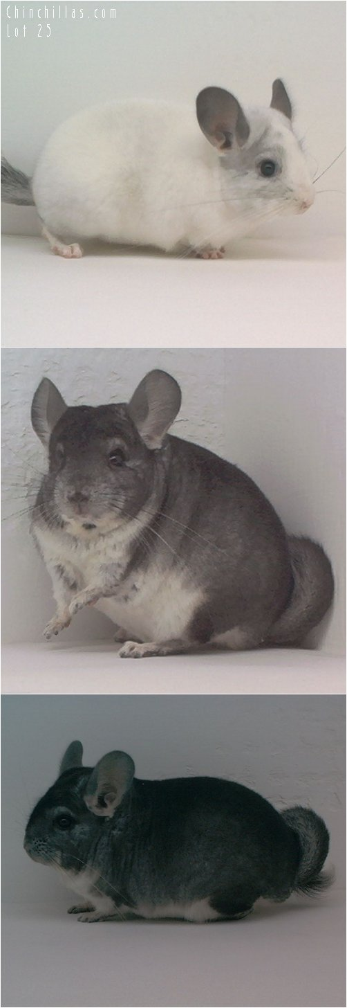 Lot 25 Show Quality White & Standard Pair Chinchilla