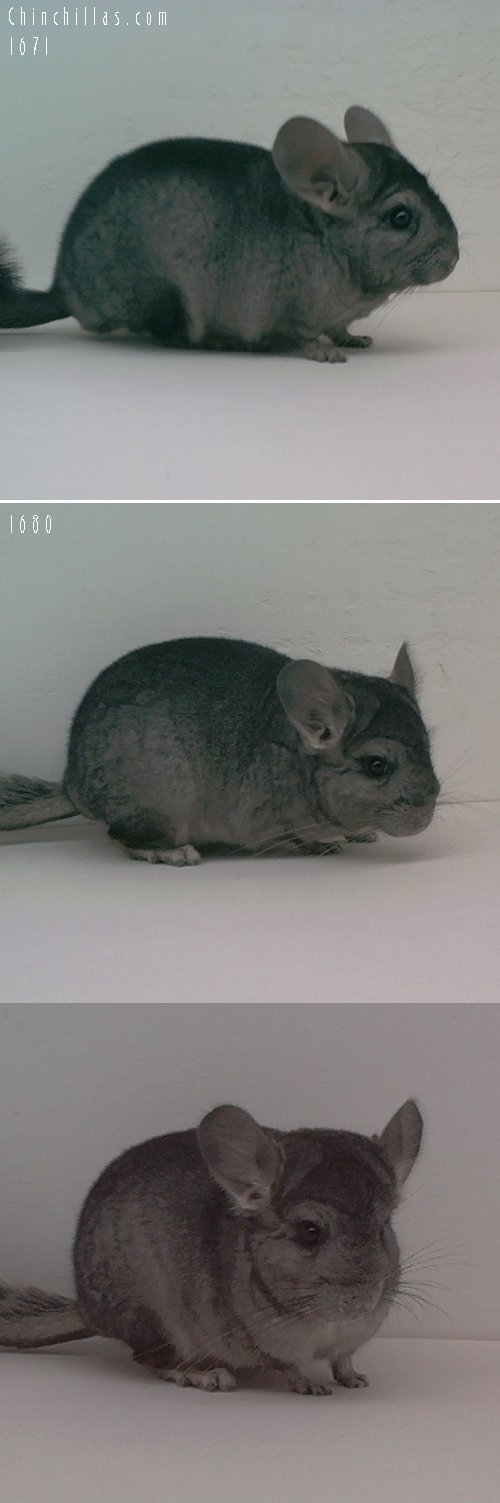 Lot 17 Wrap-around Violet Producing Pair Chinchilla