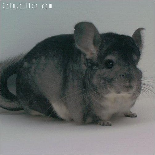 1731 Large Standard Male Chinchilla