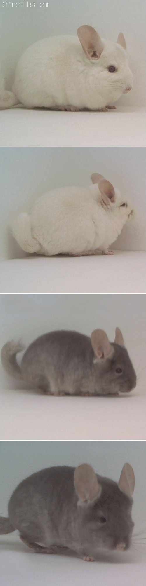 Lot 26 Showable Pink White & TOV Beige Pair Chinchilla