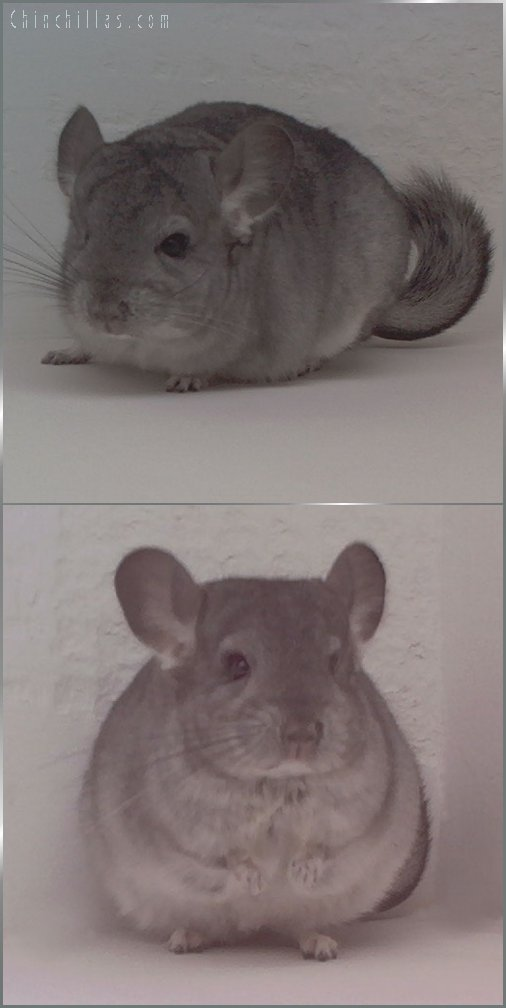1744 Standard ( Sapphire Carrier ) Female Chinchilla