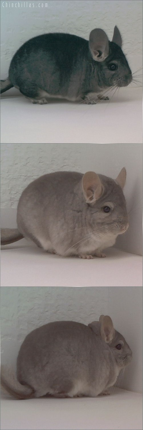 Lot 27 First Place Standard & Show Quality Beige Male Chinchilla