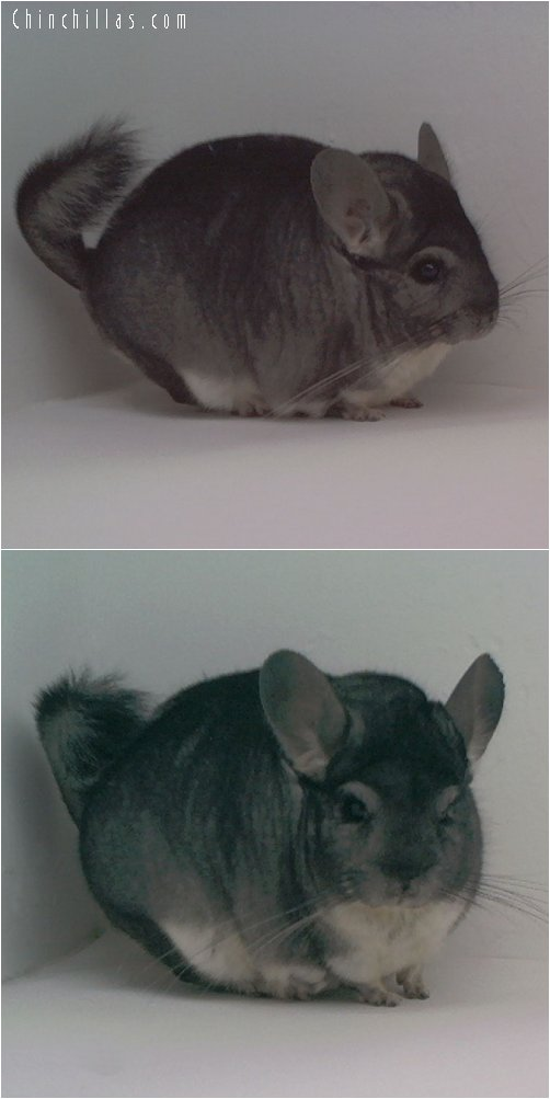 1730 Large Showable Standard Male Chinchilla