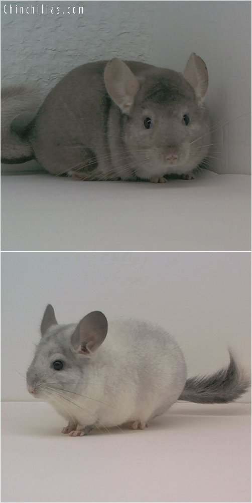 Lot 28 Showable Beige & White Pair Chinchilla