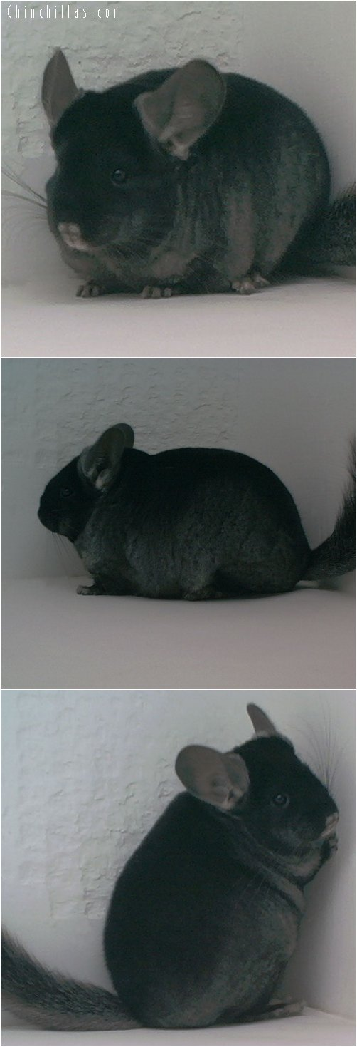 1740 Show Quality TOV Ebony Female Chinchilla