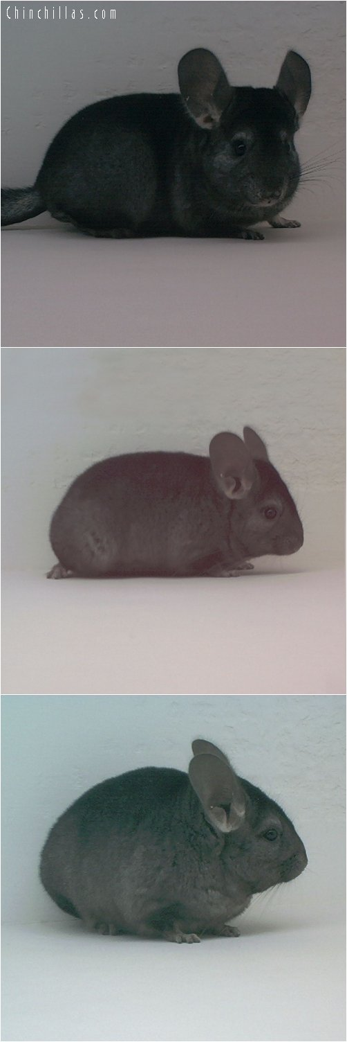 1708 Medium to Dark Heterozygous Ebony Female Chinchilla