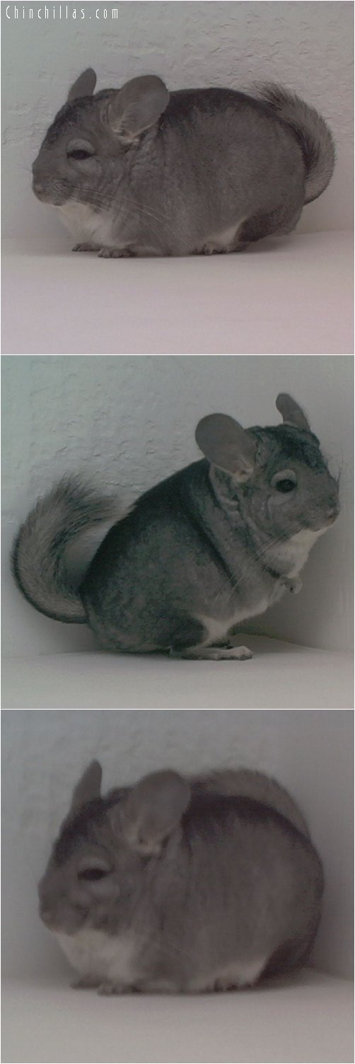 1756 Proven Show Standard Female Chinchilla