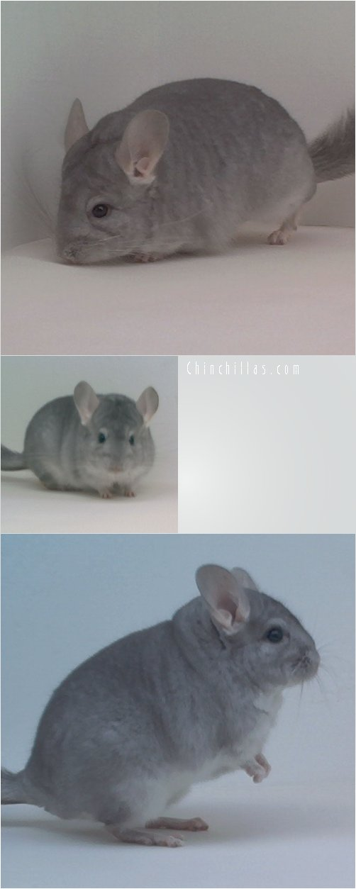 1782 Top Show Quality Sapphire Male Chinchilla