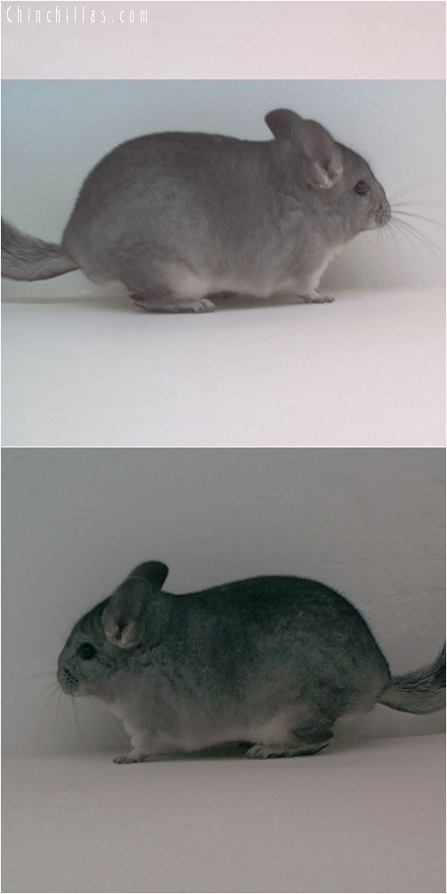 1783 Standard ( Sapphire Carrier ) Female Chinchilla
