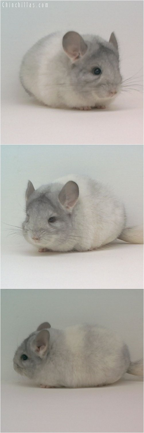 1776 Show Quality Mosaic Female Chinchilla