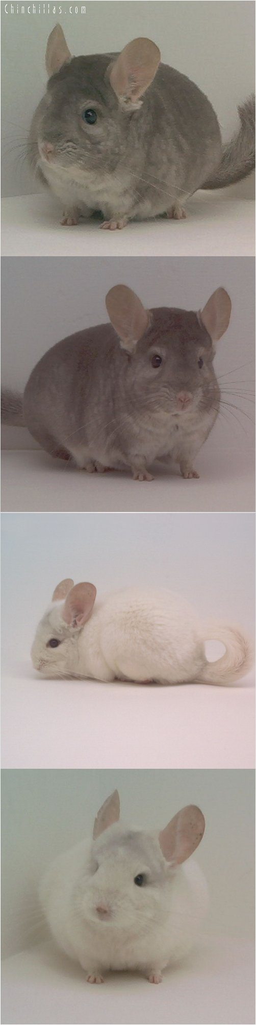 Lot 30 Heterozygous Beige & Pink White Pair Chinchilla