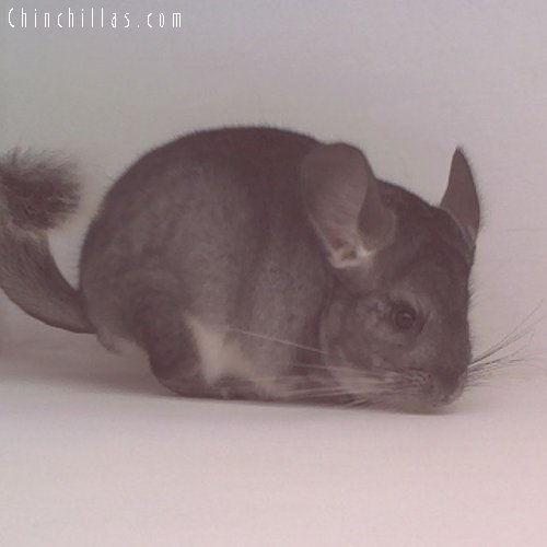 1742 Standard ( Violet Carrier ) Female Chinchilla