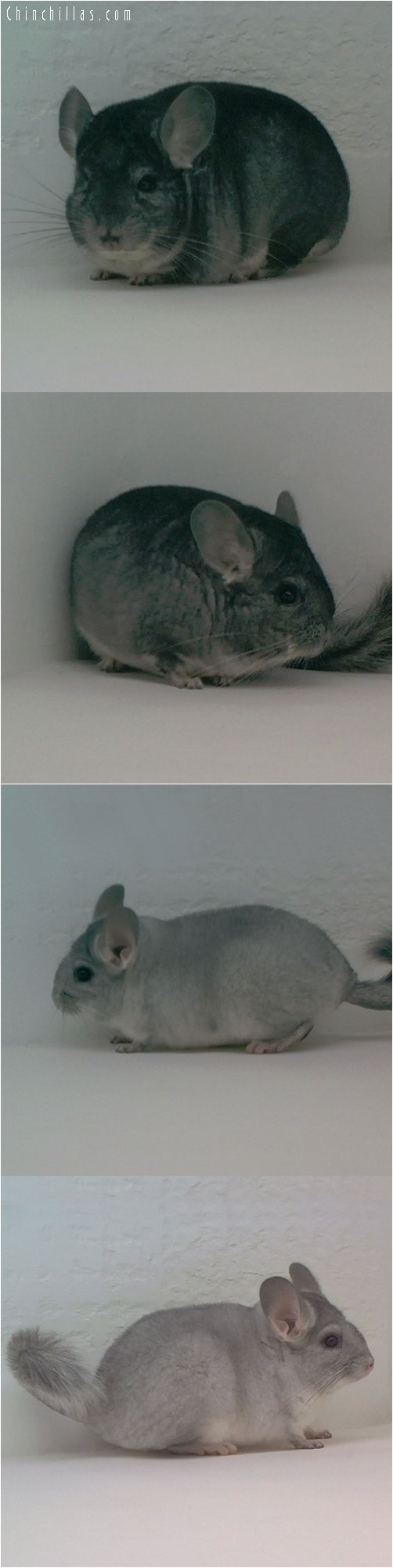 Lot 31 Standard & Silver Pair Chinchilla