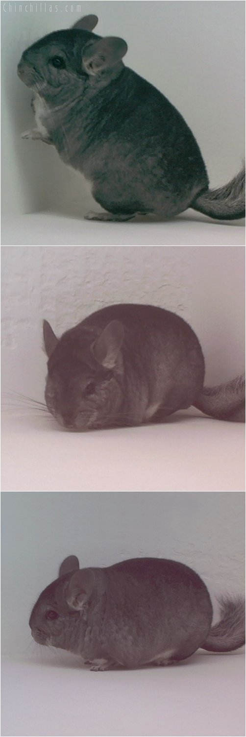 1768 Show Quality Standard Female Chinchilla