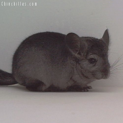 1654 Hetero Ebony ( Violet Carrier ) Female Chinchilla