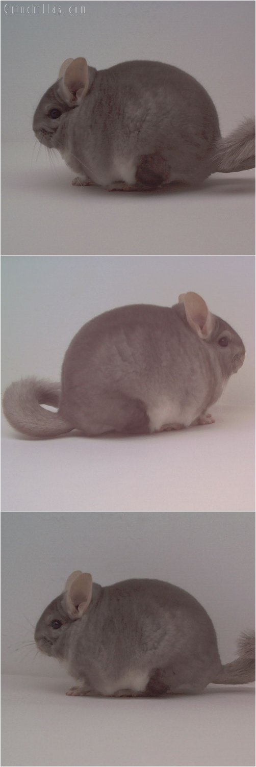 1754 Extra Blocky Beige Male Chinchilla