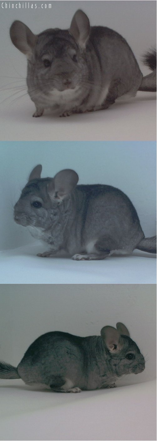 1705 Not for Show Standard ( Violet Carrier ) Female Chinchilla