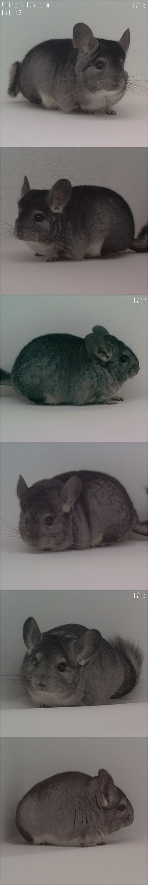 Lot 32 Three Show Quality Standard Females Chinchilla