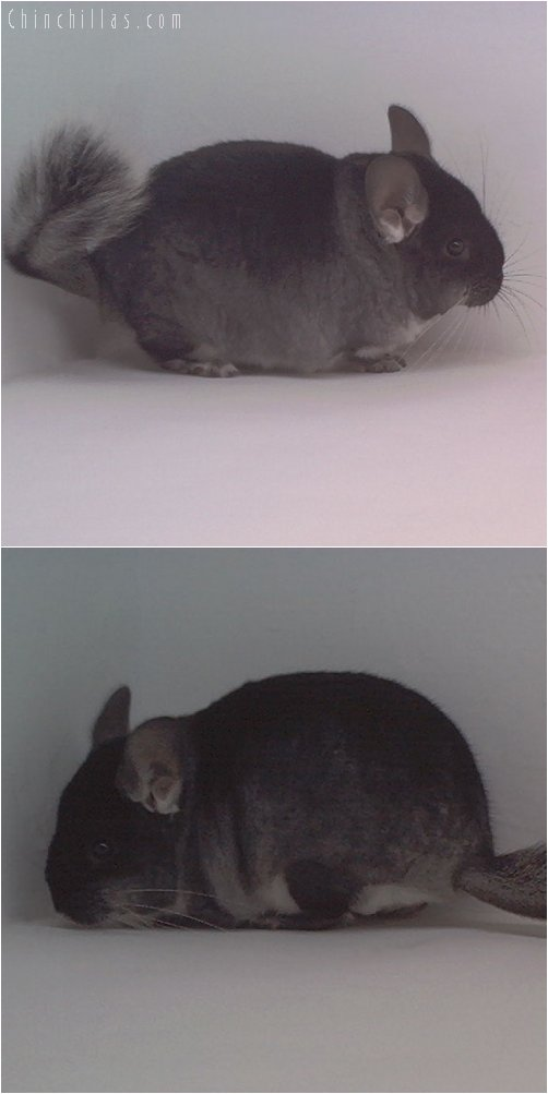 1806 Show Quality Black Velvet ( Violet Carrier ) Male Chinchilla