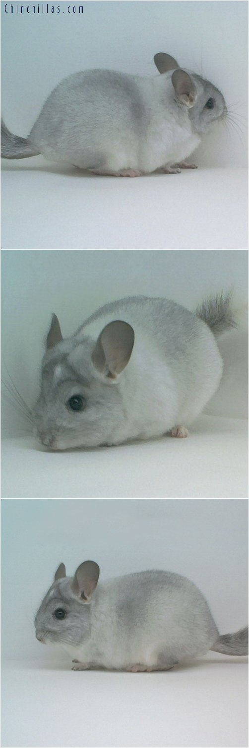 1748 Silver Mosaic ( Possible Ebony Carrier ) Male Chinchilla