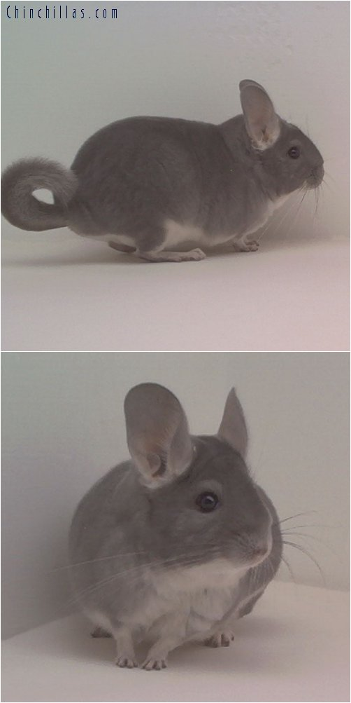 1795 Show Quality Violet Female Chinchilla