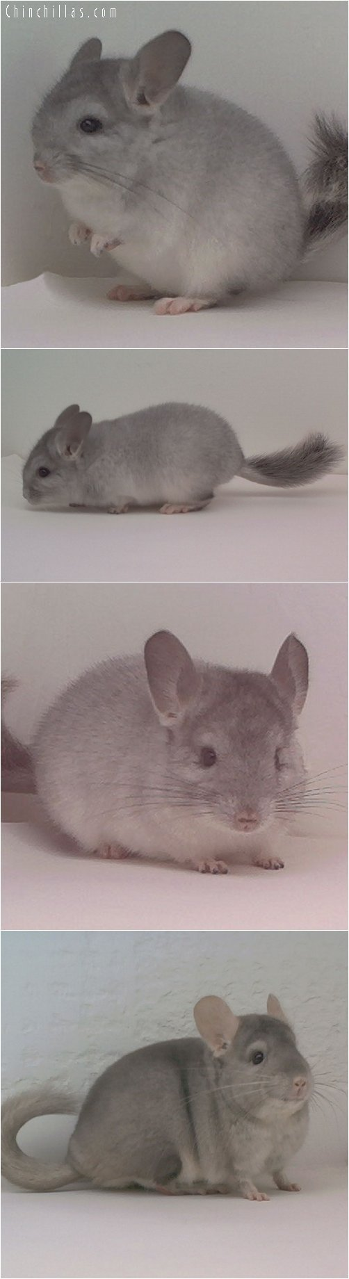 Lot 34 Silver and Beige Pair Chinchilla