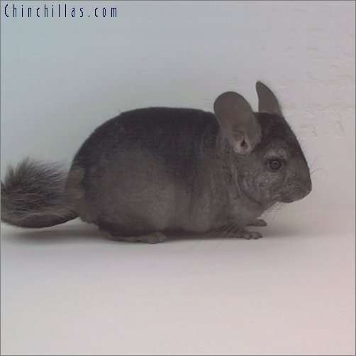 1797 Heterozygous Ebony ( Violet Carrier ) Female Chinchilla