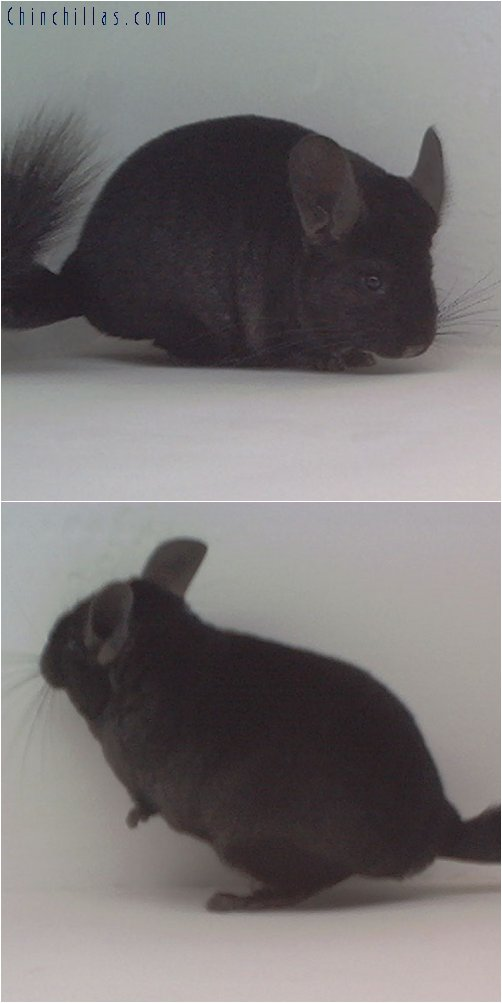 1799 Show Quality Ebony Female Chinchilla