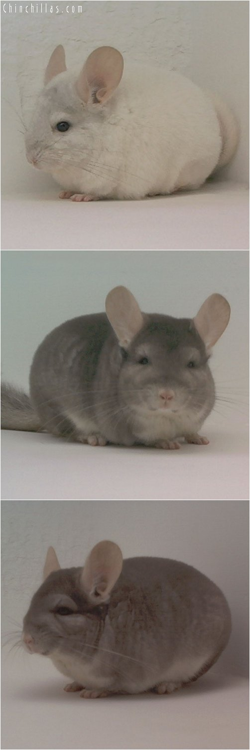 Lot 36 Pink White & Beige Pair Chinchilla