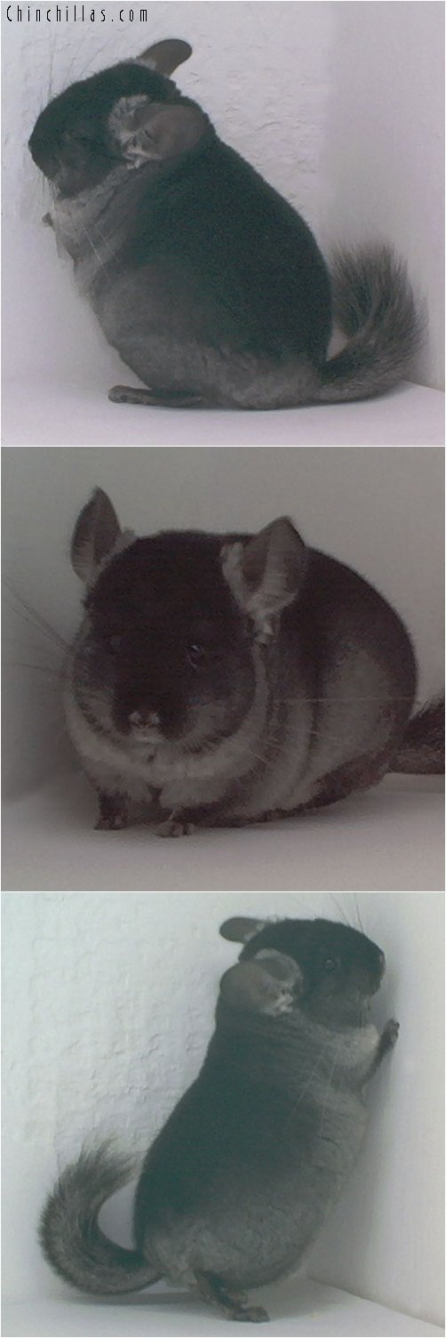 1825 TOV Light Heterozygous Ebony Male Chinchilla