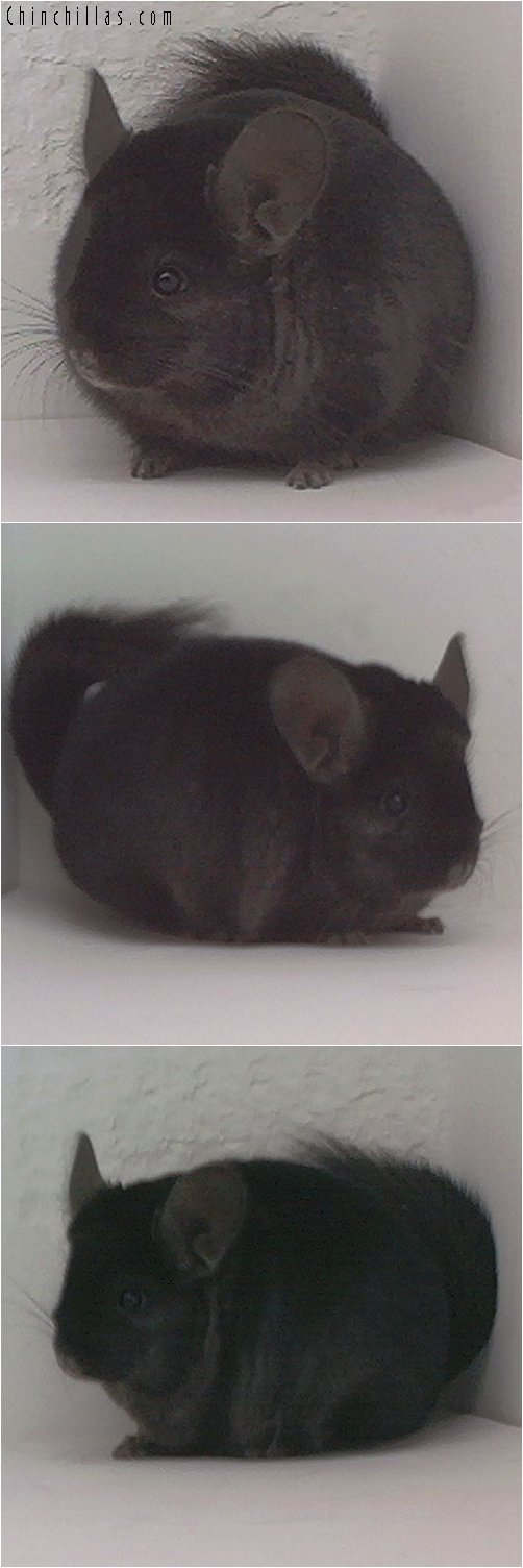 1828 Show Quality Ebony Female Chinchilla
