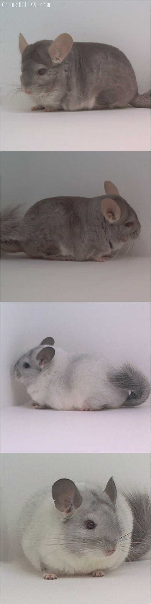Lot 37 Show Quality Beige & White Pair Chinchilla