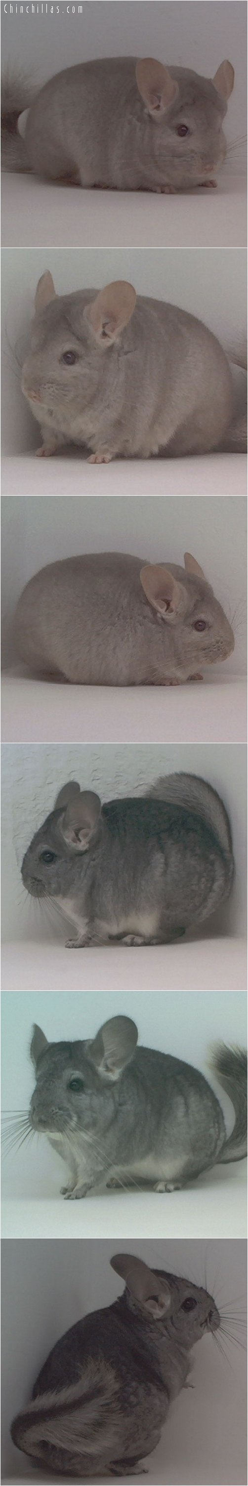 Lot 38 Violet & Beige Violet Producing Pair Chinchilla