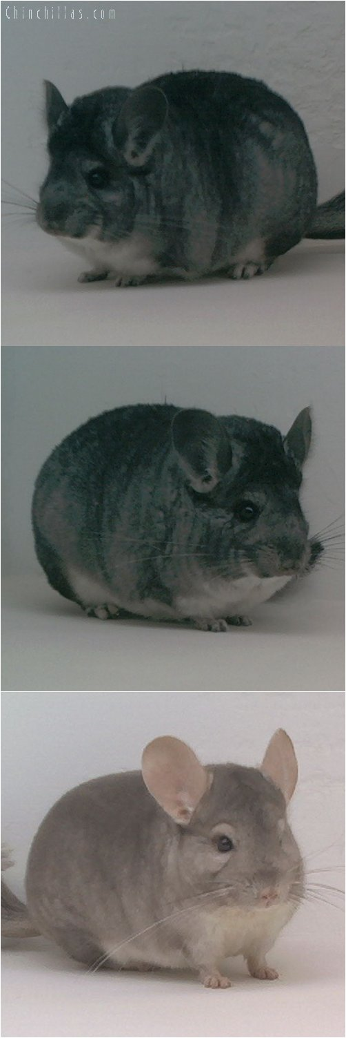 Lot 39 Show Quality Standard & Beige Pair Chinchilla