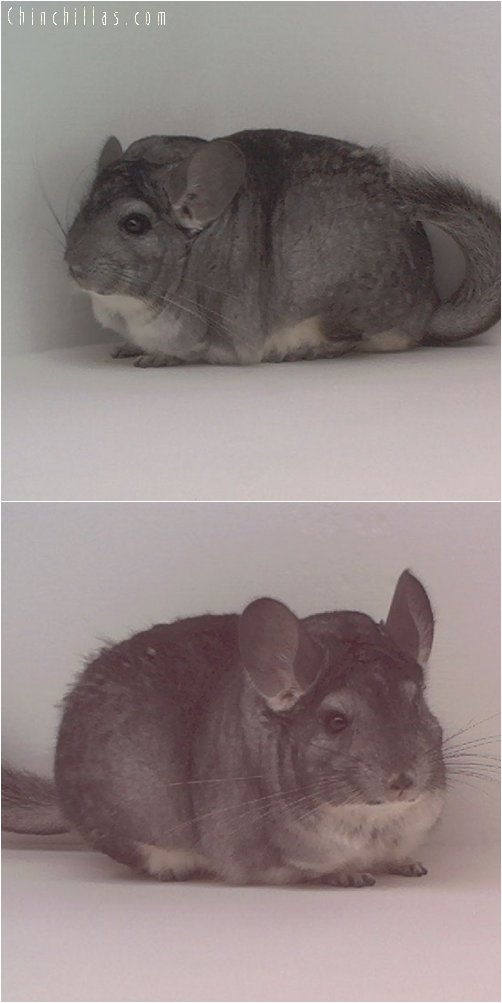 1832 Extra Large Standard Female Chinchilla